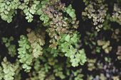 Tender dark and light green ginko leaves. Mess of nodding ginkgo biloba branches with foliage, image with blurred and focus places