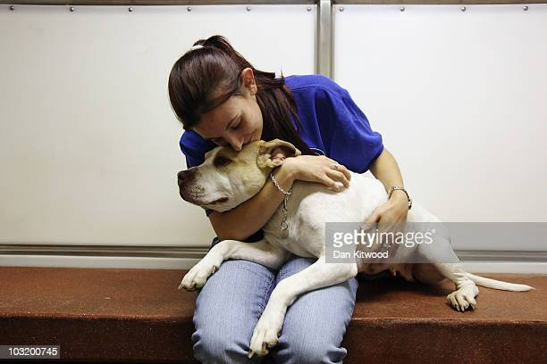 Tennessee the Staffordshire Bull terrier sits in her Kennel with animal welfare assistant Sarah Green at Battersea Dogs Cats Home as she awaits a...