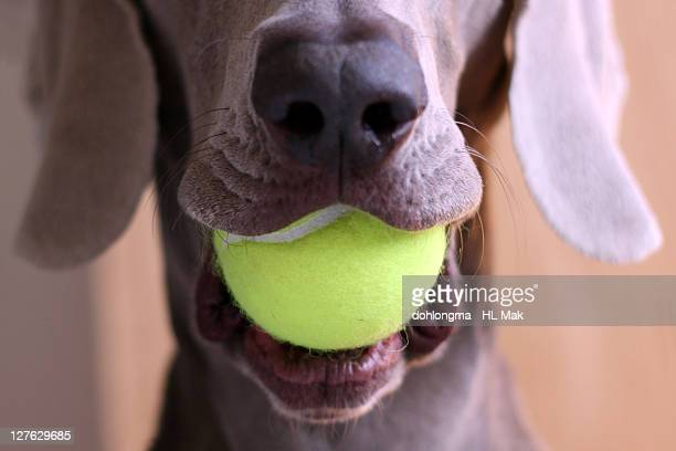 Tennis ball in dog's mouth