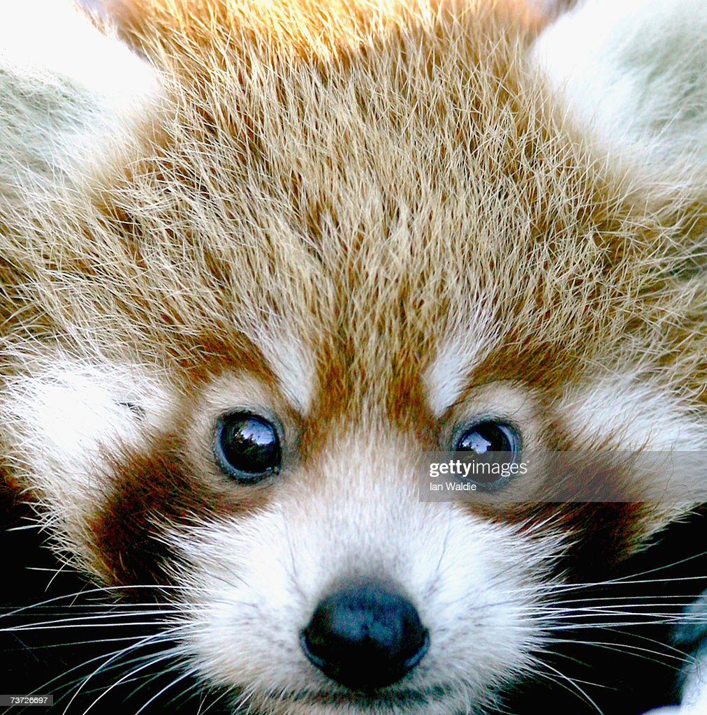 'Tenzin' one of two-month-old Red Panda cub twins, makes his debut at Taronga Zoo on March 28, 2007 in Sydney, Australia. The rare cub twins, born in January, have just begun to emerge from their nestbox. The Red Panda cubs are a result of the international breeding program for the endangered species, with Taronga Zoo producing 43 cubs since 1977.
