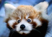 'Tenzin' one of twomonthold Red Panda cub twins makes his debut at Taronga Zoo March 28 2007 in Sydney Australia The rare cub twins born in January...
