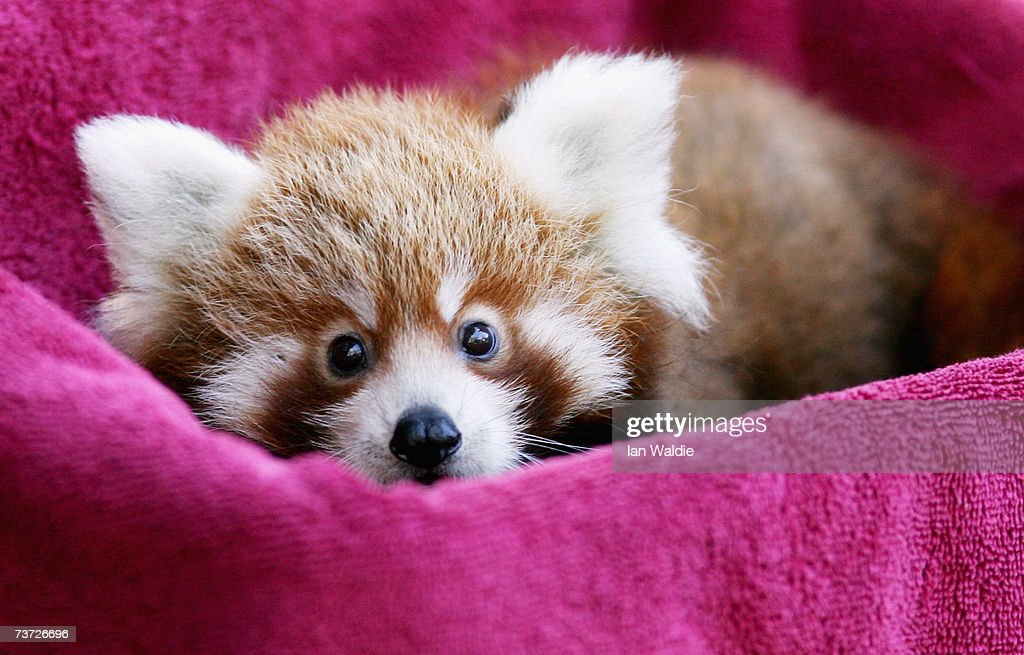 'Tenzin' one of two-month-old Red Panda cub twins, peers out of a towel-lined box while being weighed at Taronga Zoo March 28, 2007 in Sydney, Australia. The rare cub twins, born in January, have just begun to emerge from their nestbox. The Red Panda cubs are a result of the international breeding program for the endangered species, with Taronga Zoo producing 43 cubs since 1977.