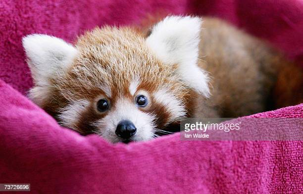 'Tenzin' one of twomonthold Red Panda cub twins peers out of a towellined box while being weighed at Taronga Zoo March 28 2007 in Sydney Australia...