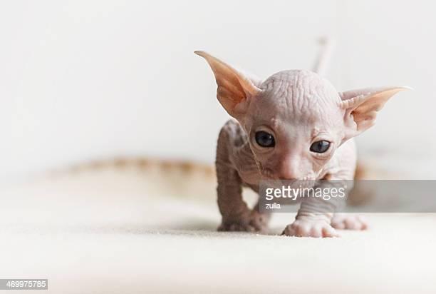 cute oriental kitten isolated on white background