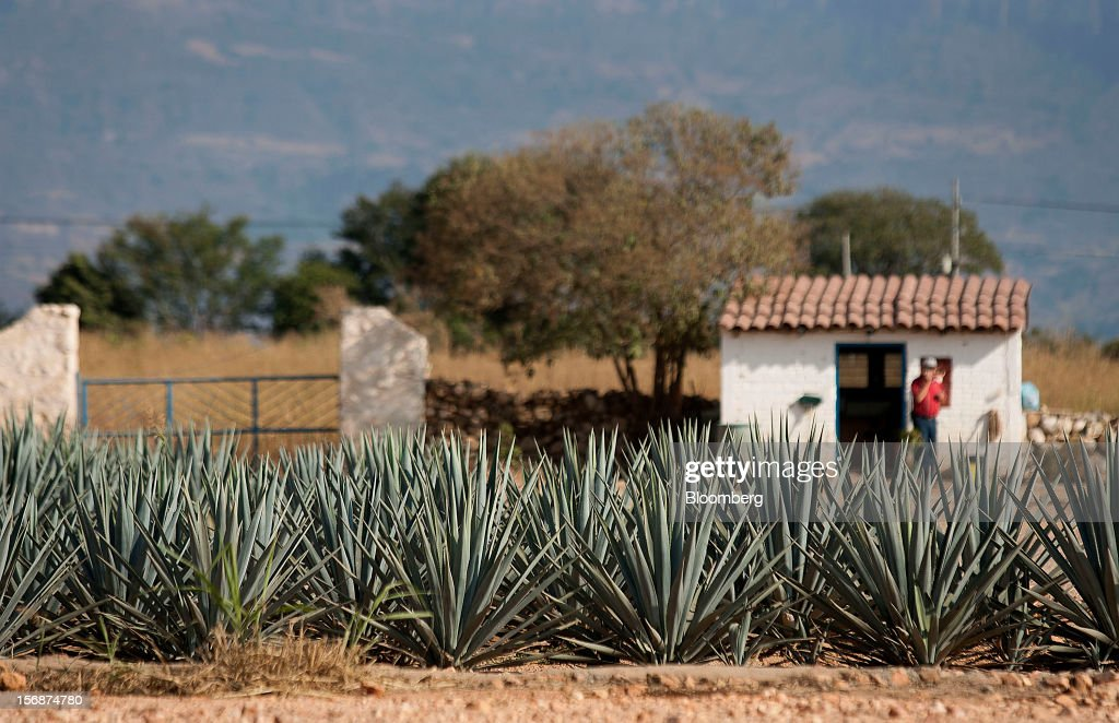 Tequila agave plants, also known as blue agave, grow in a field owned by Tequila Cuervo La Rojena S.A. de C.V., maker of Jose Cuervo, in Guadalajara, Mexico, on Thursday, Nov. 22 2012. There are more than 200 types of agave in Mexico, but use of the blue agave plant was made compulsory in the last century to the issuance of the Official Mexican Standard for Tequila production. Photographer: Susana Gonzalez/Bloomberg via Getty Images