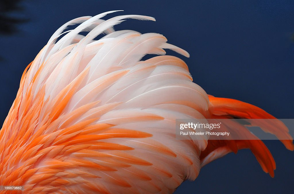 Tequila Sunrise! - Flamingo Feathers. : Stock Photo