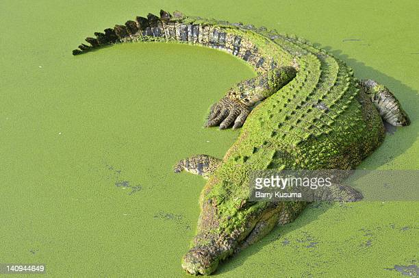 Teritip villages is the famous crocodile breeding