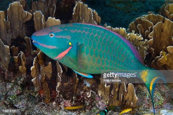 Terminal phase stoplight parrotfish Sparisoma viride This fish gets his name from bright yellow spot at upper corner of gill cover Curacao...