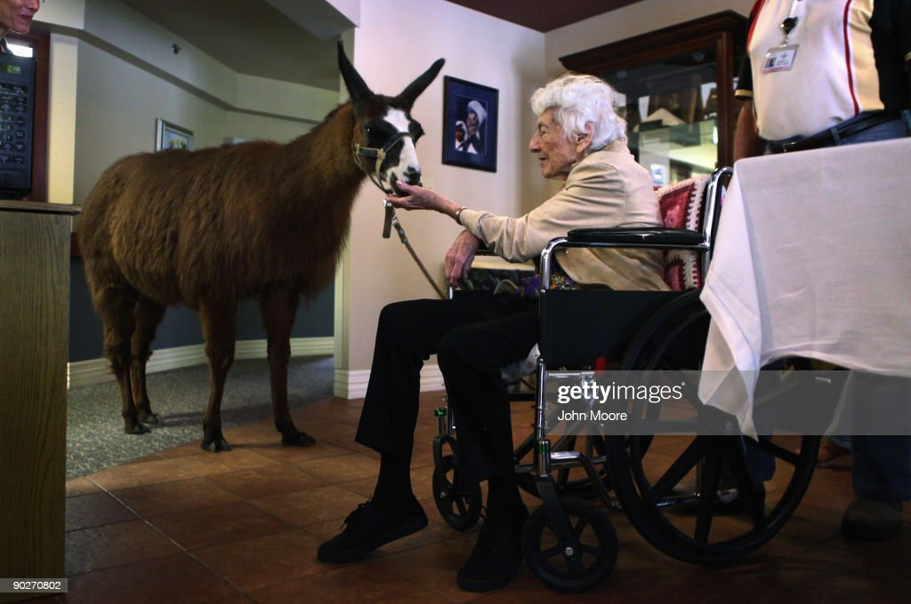 Terminally ill hospice patient Helen Kress feeds Pisco, a 13-year-old therapy llama, during his visit to the Hospice of Saint John on September 1, 2009 in Lakewood, Colorado. The llama visits the hospice each month as part of an animal therapy program designed to increase happiness, decrease loniliness and calm terminally ill patients during the last stage of life. The non-profit hospice, which serves on average 200 people at a time, is the second oldest hospice in the United States. The hospice accepts patients regardless of their ability to pay, although most are covered by Medicare or Medicaid. End of life care has become a contentious issue in the current national debate on health care reform.