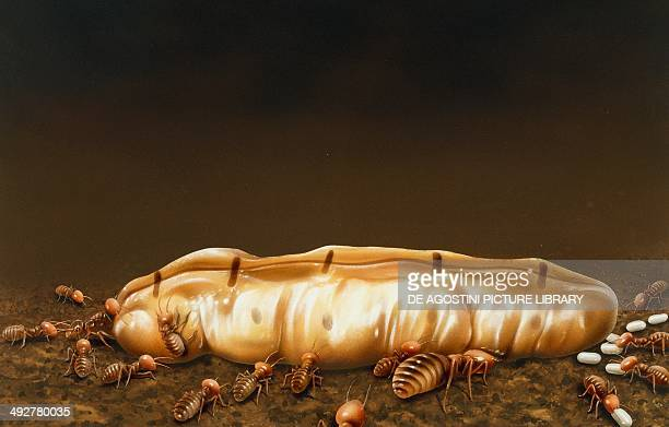 Termite queen in the nest with the king and other termites Artwork by Terry Pastor