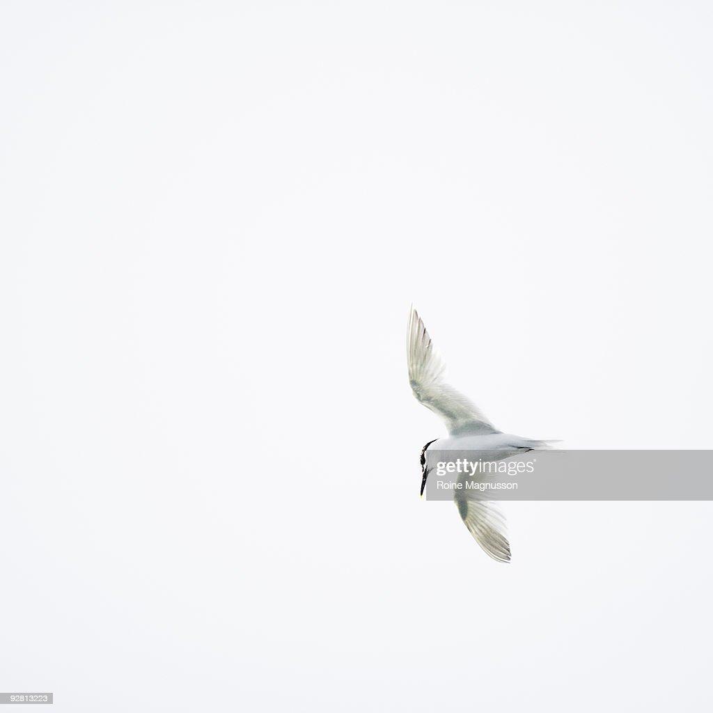 Tern flying against white background : Stock Photo