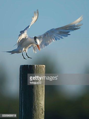 Tern Landing : Stock Photo