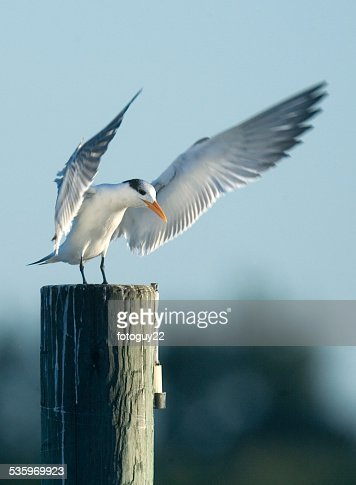 Tern Landing : Stock Photo