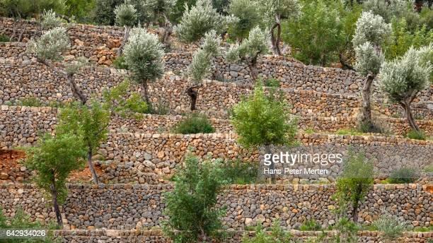 Terrace cultivation near Soller, olive trees, Majorca, Balearic Islands, Spain