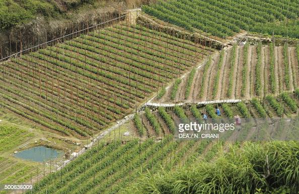 Terraced farming stock photos and pictures getty images for Terrace farming images