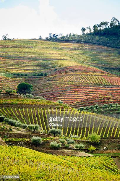 Terraced field vineyard  in its autumn colors