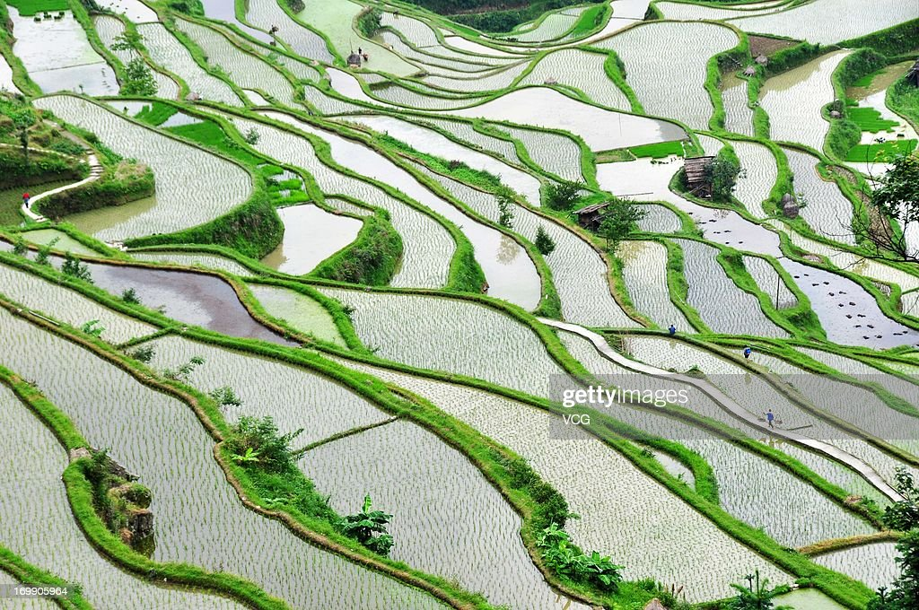 Terraced fields of rice paddies are farmed on June 4, 2013 in Jinping County, Guizhou Province of China. Chinese farmers were in busy farming season in recent days, as wheat harvest started around Mainland China.