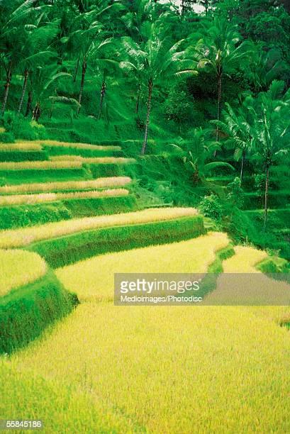 Terraced rice field, Bali, Indonesia