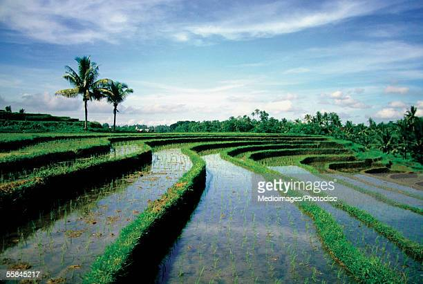 Terraced rice field filled with water, Bali, Indonesia