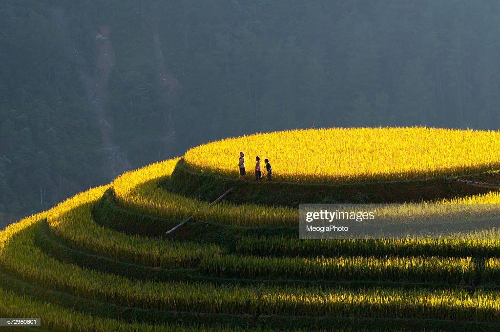 Terraced rice field in North Viet Nam