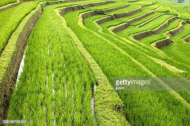 Terraced rice (Oryza) paddies