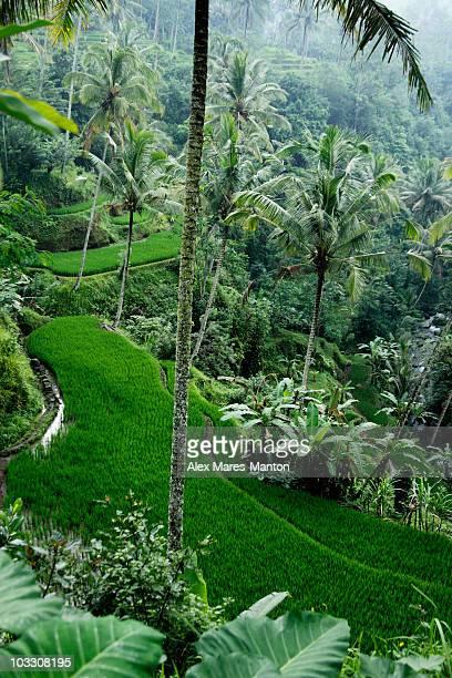 terraced rice paddies, Ubud, Bali