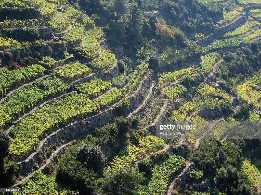 Terraced vineyards above Corniglia