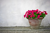 Old terracotta pot with red geranium flowers on a white wall background. The location is an old castle in the middle of the Chianti Region (Tuscany, Italy).