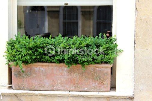 Terracota jardinera de ventana con sujeci n buxus sempervirensevergreen boxwood foto de stock - Jardineras de terracota ...
