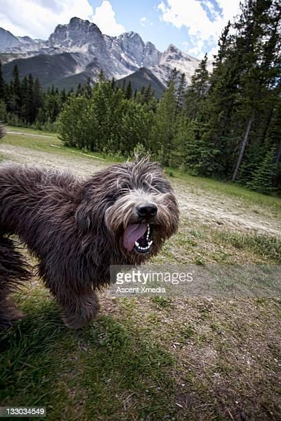 Terrier cross dog smiles at camera during dogwalk
