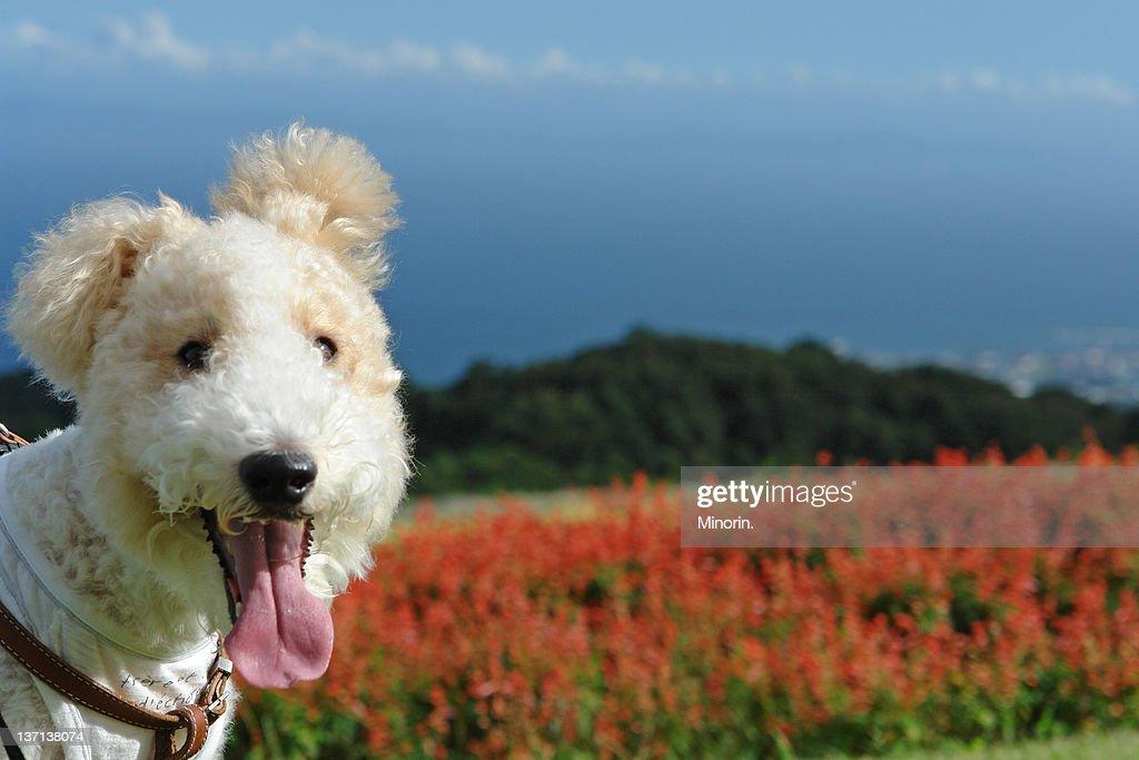 Terrier dog : Stock Photo