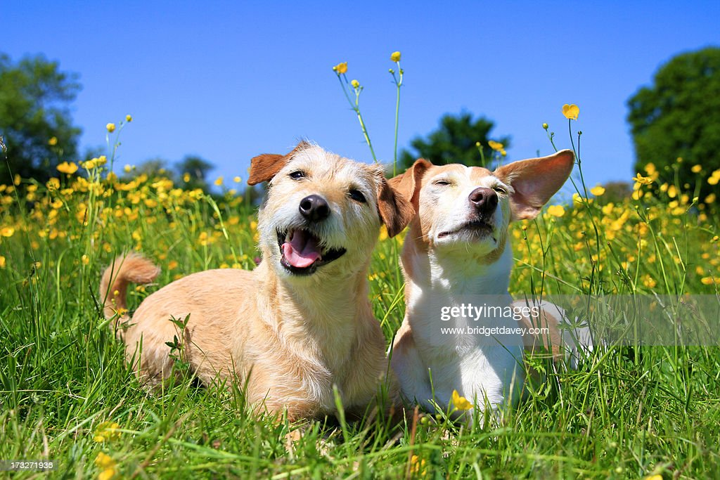 Terrier Mix and Jack Russel in Field : Stock Photo