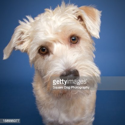 Terrier mix curious : Stock Photo
