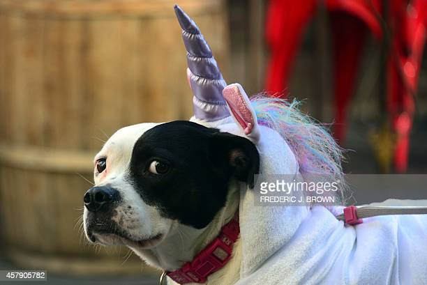 TerrierPitbull mix Parker dressed as a 'Unicorn' awaits the start as pet owners take their dogs dressed in Halloween costumes for a walk in the...