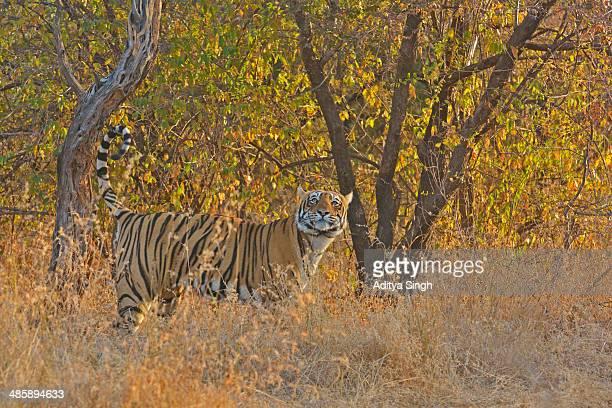 Territory marking tiger