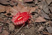 A beautiful red Tessaratomid Stink Bug Nymph.