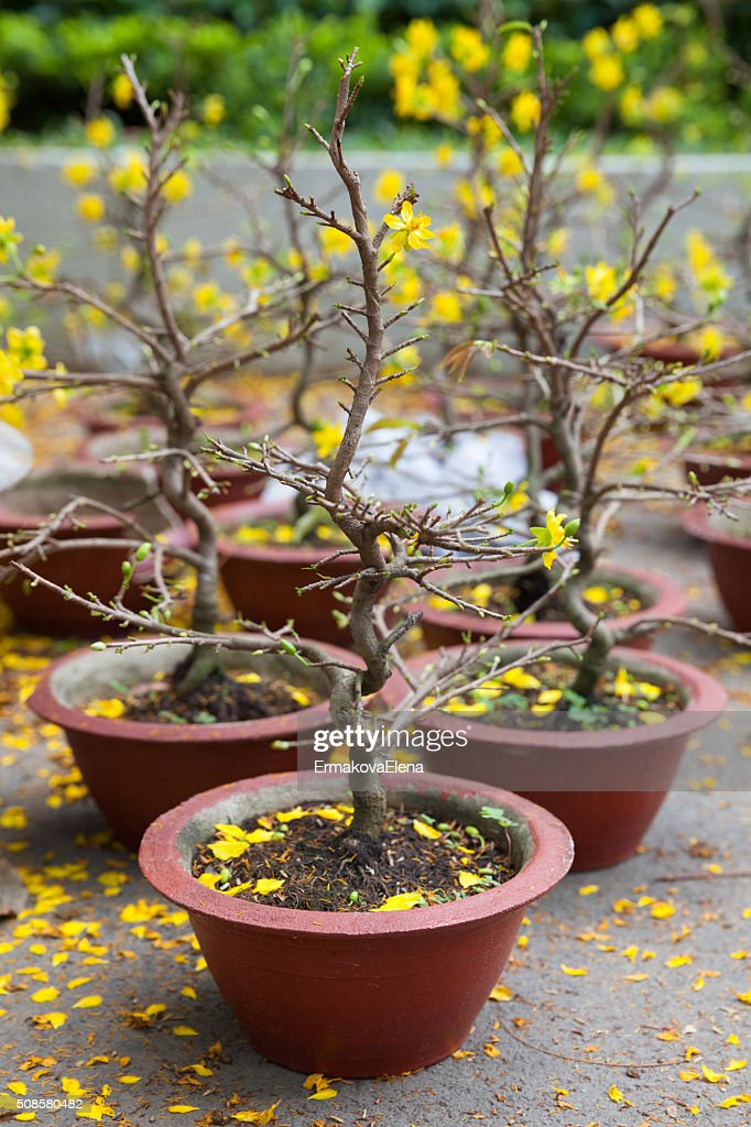 Tet Blossom Trees the symbols of Lunar New Year, Vietnam : Stockfoto