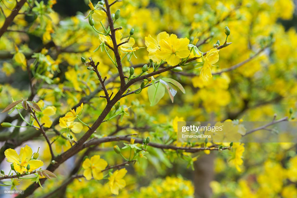 Tet Blossom Trees the symbols of Lunar New Year, Vietnam : Stock Photo