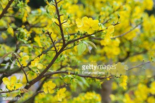Tet Blumen blühen Bäume die Symbole der Mondneujahr, Vietnam : Stock-Foto