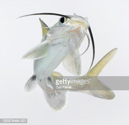 Tete sea catfish (Hexanematichthys seemanni), low angle view