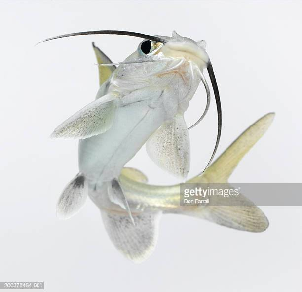Tete sea catfish (Hexanematichthys seemanni), low angle view