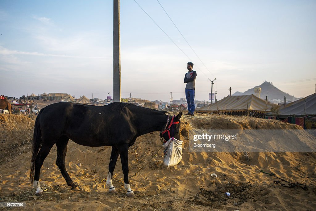 A tethered horse feeds from a bag at the fairgrounds of the Pushkar Camel Fair in Pushkar, Rajasthan, India, on Sunday, Nov. 22, 2015. Throw together hundreds of thousands of rural Indians, colorful festivals and throngs of tourists and you get the annual Pushkar Fair. Photographer: Prashanth Vishwanathan/Bloomberg via Getty Images