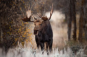 A bull moose in rut in Grand Teton National Park.