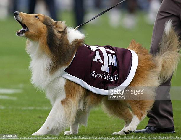 Texas AM mascot Reveille VIIThe Texas Longhorns defeated the Texas AM Aggies4029 in front of 86November 25 2005 at Kyle Field in College Station Texas