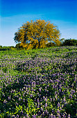 Texas Bluebonnet (Lupinus texensis) and Huisache tree (Acacia farnesiana), blooming, San Antonio, Hill Country, Texas, USA