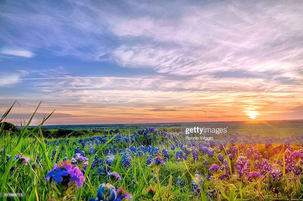 Texas Bluebonnets at Sunset down Low