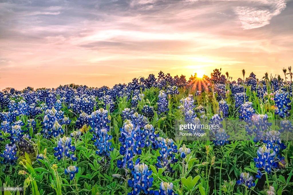 Texas bluebonnets at sunset