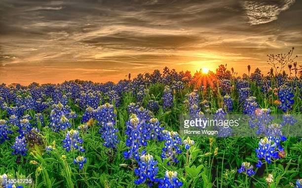 Texas bluebonnets in field