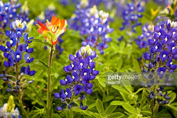 Texas Bluebonnets in spring meadow. Indian paintbrush flower. Field.