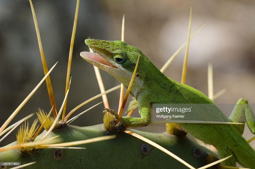 USA Texas Hill Country Near Hunt Green Anole On Prickly Pear Cactus